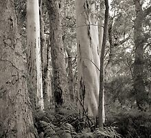 Karri Forest in Black and White by pennyswork