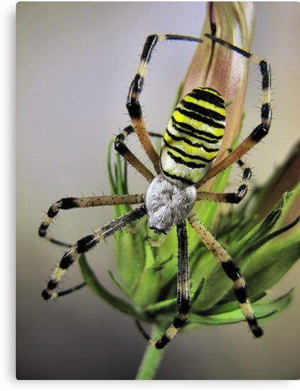 Wasp spider by jimmy hoffman
