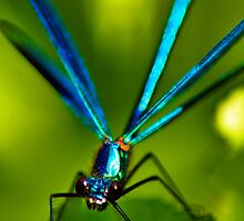Summer Damselfly. by FraserJ