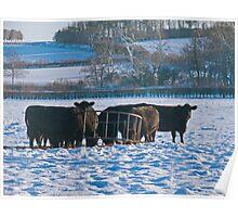 Black Cattle, White Snow - Bintree Norfolk Poster