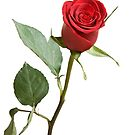 Red Rose by Marlene Hielema