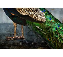 Peacock Feet Photographic Print