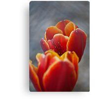 Two Tone Tulip Vignette Canvas Print