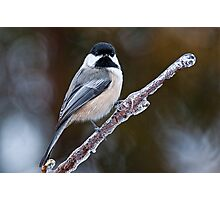 Chickadee on ice covered branch - Ottawa, Ontario Photographic Print