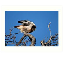 Red-tailed Hawk taking off - Amherst Island Art Print