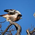 Red-tailed Hawk taking off - Amherst Island by Michael Cummings