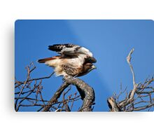 Red-tailed Hawk taking off - Amherst Island Metal Print
