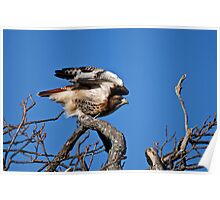 Red-tailed Hawk taking off - Amherst Island Poster