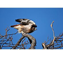 Red-tailed Hawk taking off - Amherst Island Photographic Print