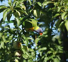 Australian Parrot by gabbycoops