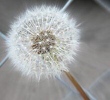 Through The Fence - Dandelion  by mezzilicious