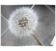 Through The Fence - Dandelion  Poster