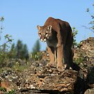 Montana Mountain Lion by mlorenz