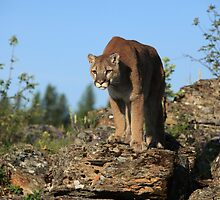 Montana Mountain Lion by mlorenz
