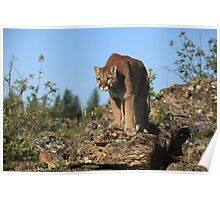Montana Mountain Lion Poster