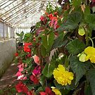 Begonia display, Entally House, Tasmania by BronReid
