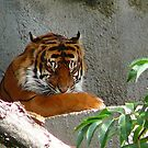 Tiger at Woodland Zoo by rferrisx