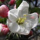 Apple Blossom by Tracy Wazny