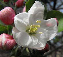 Apple Blossom by Tracy Faught