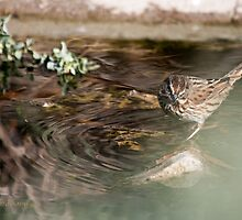 Life is But a Song (Sparrow) Melospiza melodia by WiredMarys