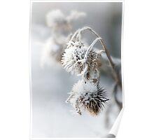 Snow Teasel Poster