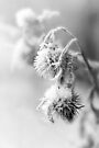 Snow Teasel BW by Andy Freer