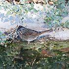 Lincoln Sparrow (Melospiza lincolnii) by WiredMarys