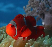 Spiny Cheeked Anemone Fish by Rick Grundy