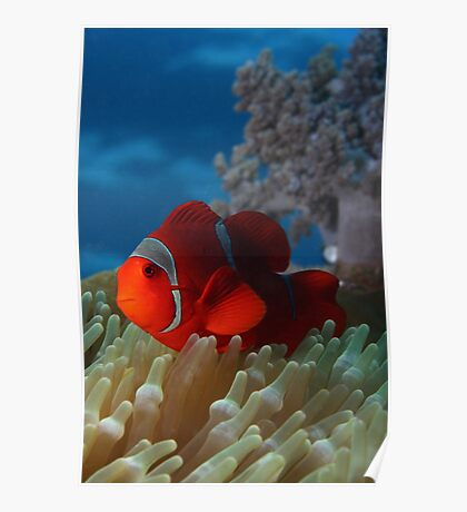 Spiny Cheeked Anemone Fish Poster