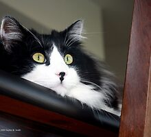 Buddy - Tuxedo Maine Coon Cat | Bellport, New York  by © Sophie W. Smith