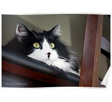 Buddy - Tuxedo Maine Coon Cat | Bellport, New York  Poster