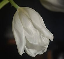 White Tulip Close Up by keennyy826