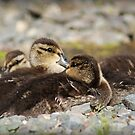 Ducklings by Jennifer Finn