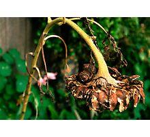 sunflower sleepers Photographic Print