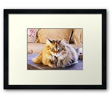 Maine Coon sitting pretty Framed Print