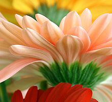 Gerbera trio by mooksool