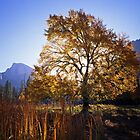 English Elm & Half Dome by Mike Norton