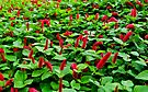 acalypha reptans by gary roberts