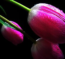 Trio Tulips. by Vitta