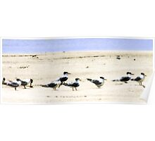 Crested Tern Panorama Poster
