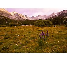 Lupine, Little Lakes Valley Photographic Print
