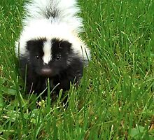 baby skunk by amycw