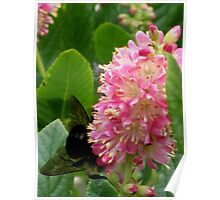 Huge Bee on Pink Bloom Poster