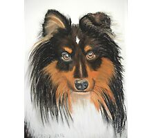 Hamish, Shetland Sheepdog Tricoloured Photographic Print
