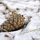 Pinecone in the Snow by sternbergimages