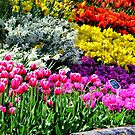Colorful Tulips by Rick Lawler