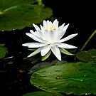 White Water Lily  by Michael Cummings