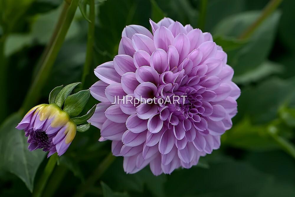 Purple Dahlia by JHRphotoART