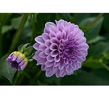 Purple Dahlia Photographic Print
