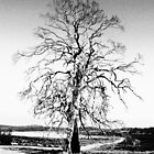 Gum Tree, Great Lakes, Tasmania by TripleC